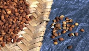se-descartan-las-semillas-estropeadas-de-albaricoque