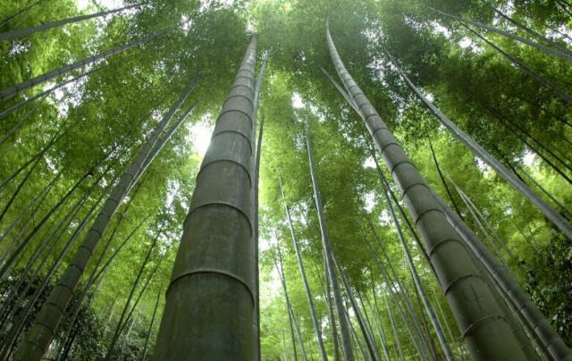 bambu moso
